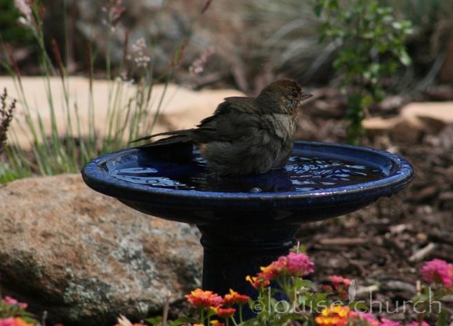 California Towhee in Blue Bird Bath